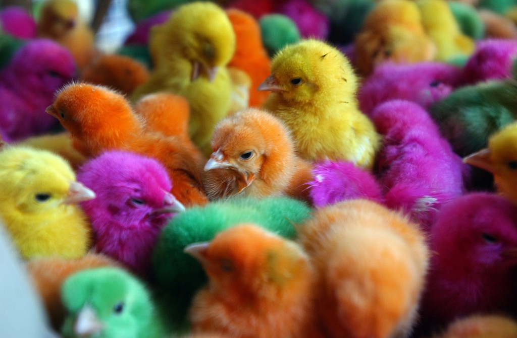 Artificially colored chicks crowd together in a cage at a market in Basra, Iraq. Selling or displaying dyed poultry is illegal in New Hampshire but a state lawmaker wants to change that and says people should be able to dye chickens and other poultry if they want to.