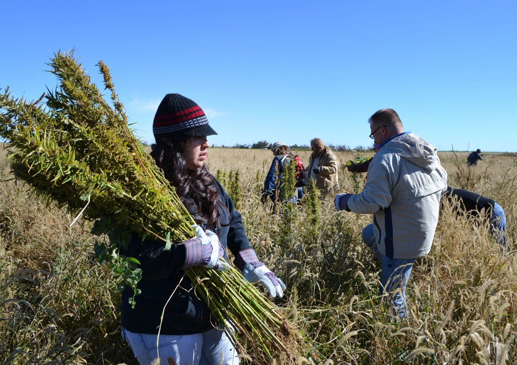 Volunteers harvest hemp at a farm in Springfield, Colo., during the first known harvest of industrial hemp in the U.S. since the 1950s. Hemp and marijuana are the same species, just cultivated differently to enhance or reduce THC.