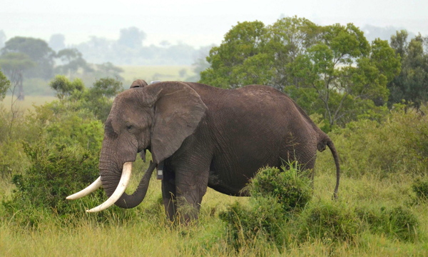 This is one of 15 elephants near the Maasai Mara National Reserve fitted with GPS devices so they can be tracked to see whether they've strayed into areas at risk for poaching or human conflict.