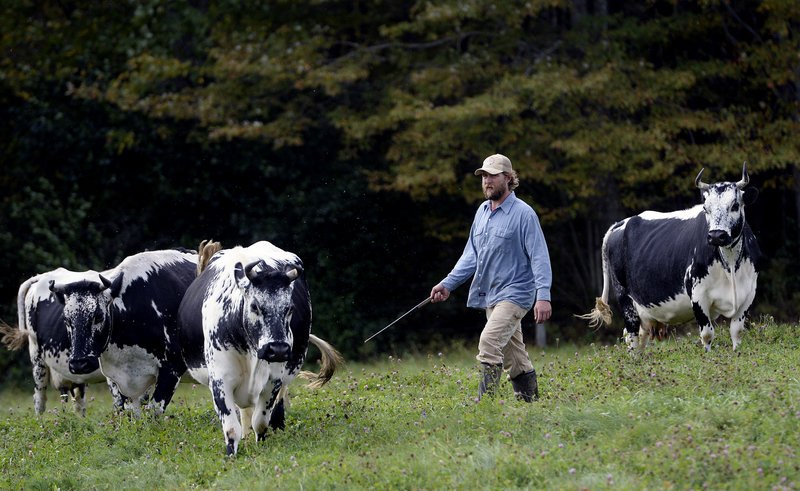 Steve Burger, who with his wife, Sarah Wiederkehr, operates Winter Hill Farm in Freeport, rounds up some of the farm's rare Randall cows.