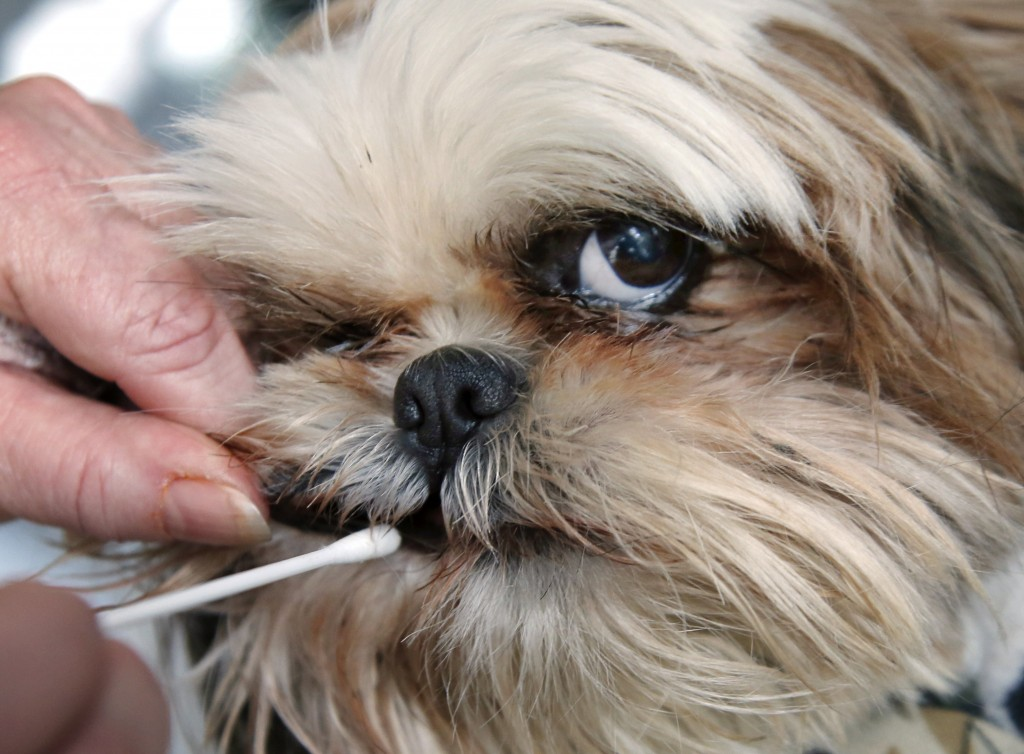 Barbara Kansky's dog, Justine, submits to a DNA test by her owner, who uses a cotton swab to obtain a cheek cell sample. The test makes it possible to match the dog to its waste.