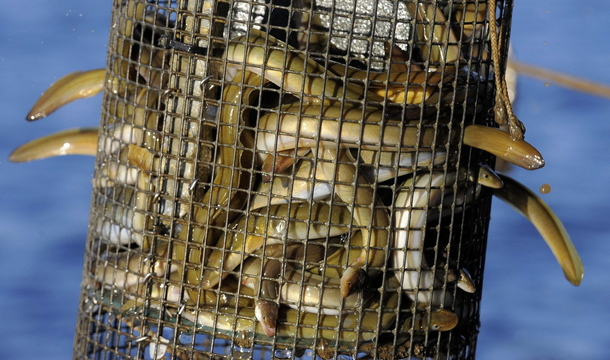 """Maryland eel fishermen find themselves struggling to make a decent living on their catch as Maine eelers earn millions by netting millions of baby """"glass"""" eels for export to Asia."""