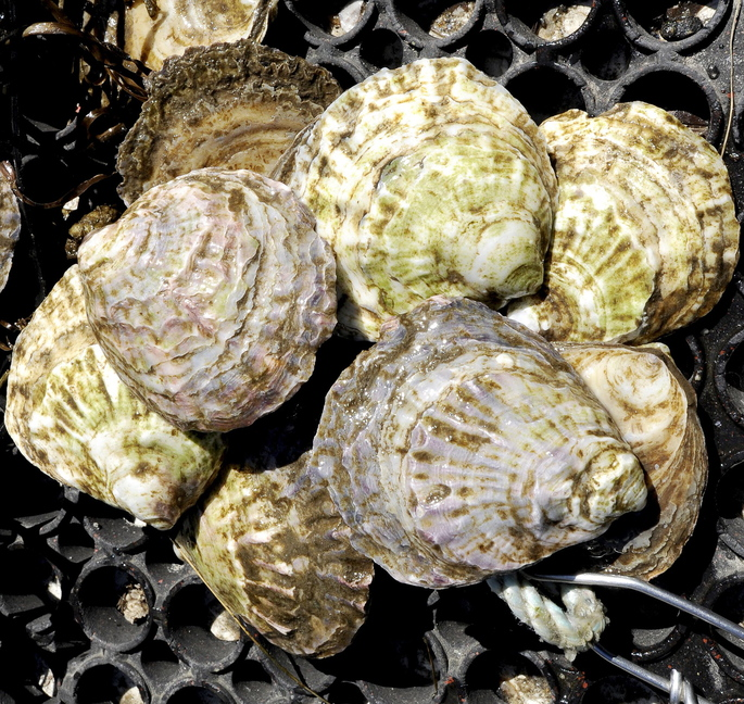 These Belon oysters were grown in the Scarborough River in Maine. Algae, minerals and the salinity and temperature of the water contribute to what connoisseurs call a bivalve's meroir, a maritime play on the wine world's terroir.