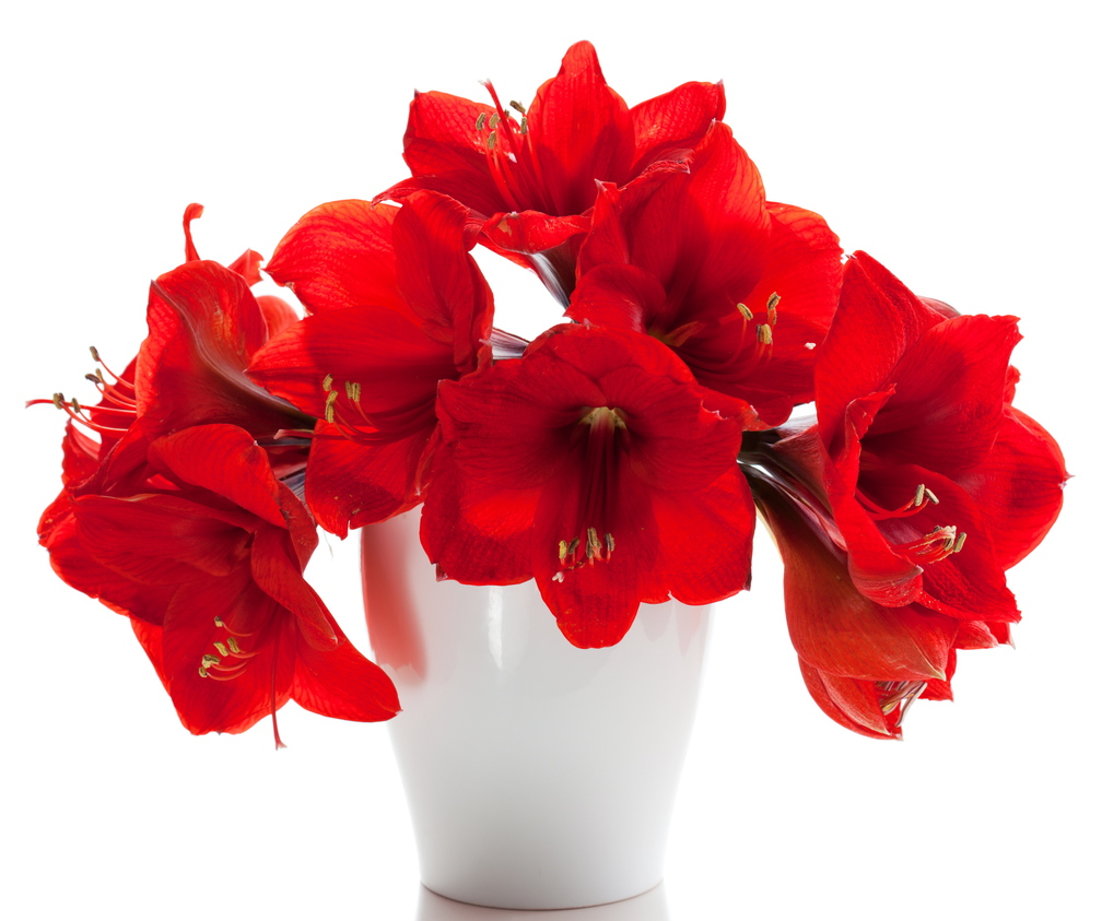 Amaryllis flowers are beautiful, and the plants have staying power.