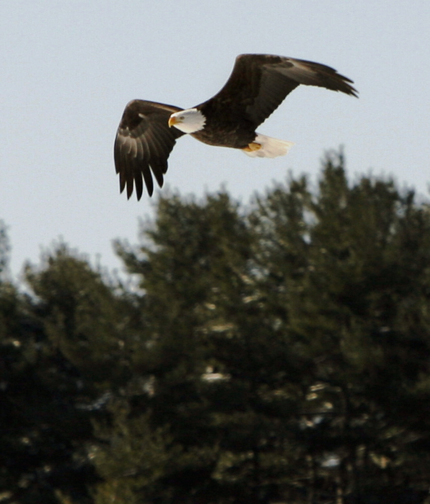 "A bald eagle keeps a watchful eye as it hunts prey while soaring above the Kennebec River in Dresden. Friends of Maine's Mountains calls turbines ""bird-killing machines."""