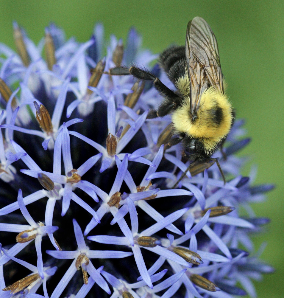 A bee collects pollen from a globe thistle.