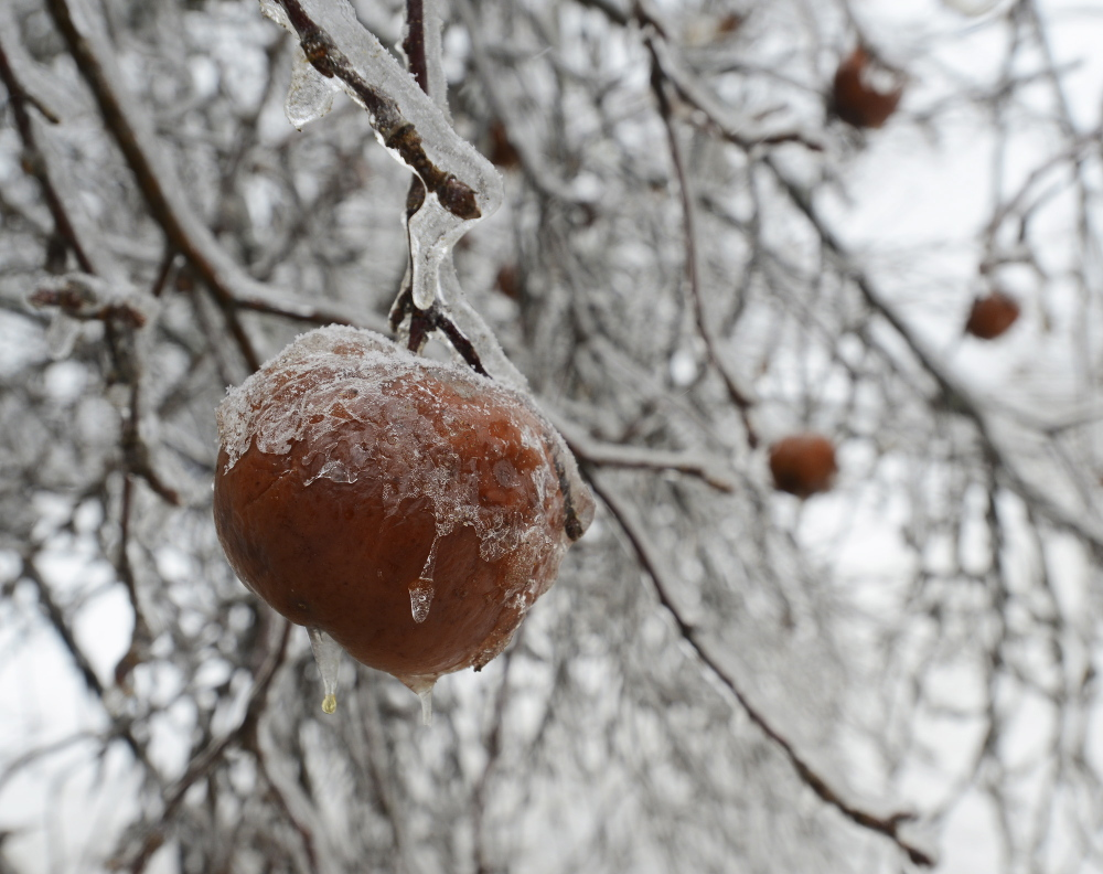 A few ice encrusted apples hang on Thursday after the recent ice storm in Durham.