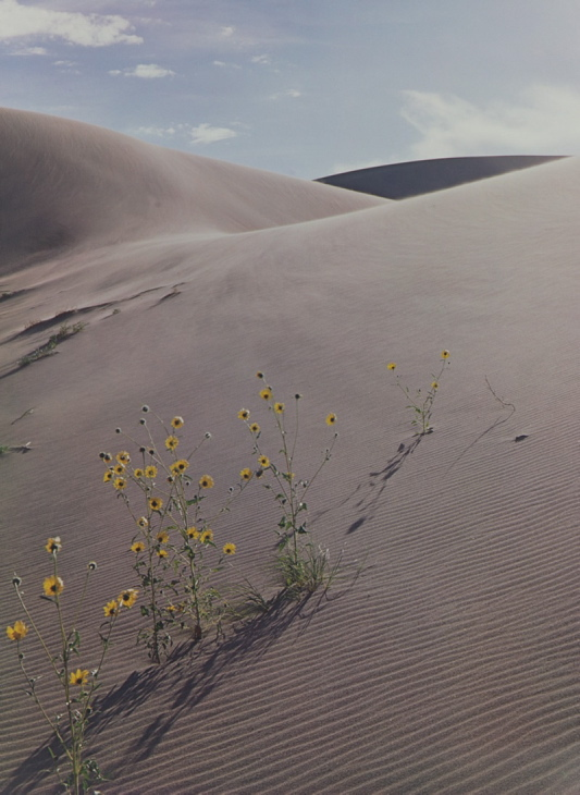 """Sunflower and Sand Dune"" by Eliot Porter"
