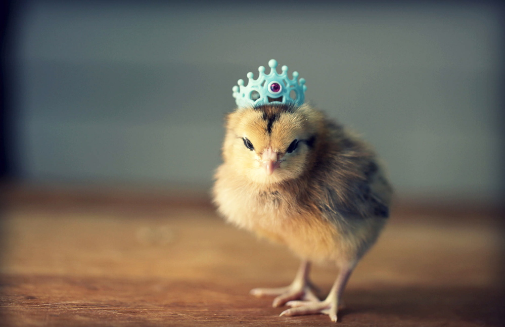 A crowned chick is one of photographer Julie Persons' subjects. Little chicks wearing tiny hats receive big attention online.
