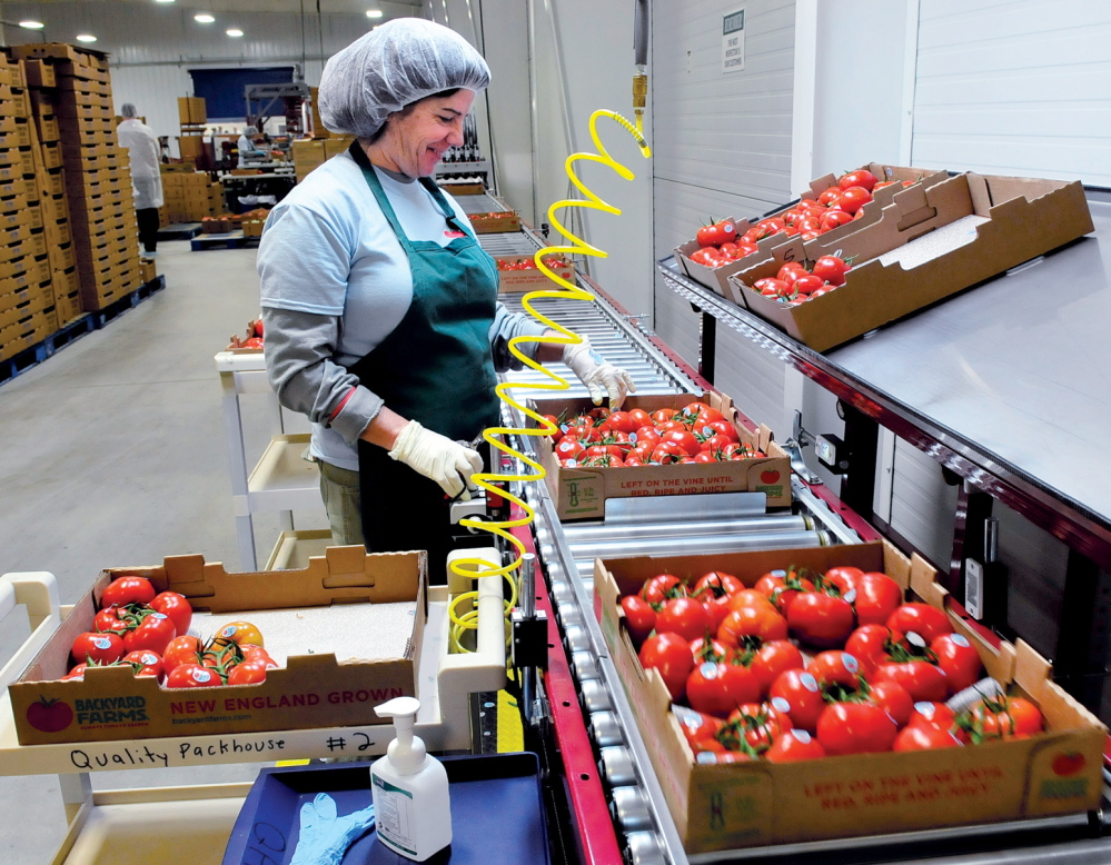 Anne Delano packs tomatoes for shipping at Backyard Farms in Madison on Wednesday. The fruit is back in stores, including Hannaford, Whole Foods, Walmart and Shaw's.