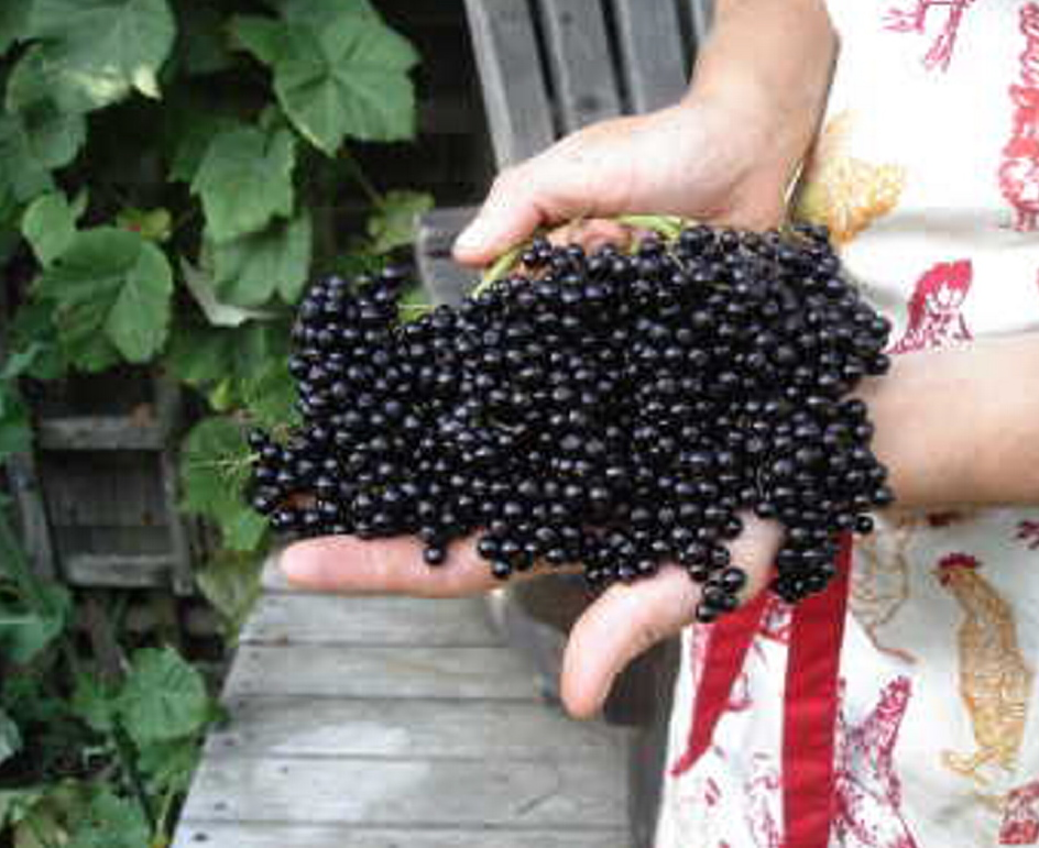 Elderberry fruit.