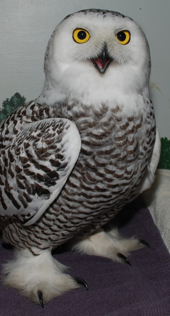 The snowy owl rescued from a Portland building is being housed at Avian Haven Wild Bird Rehabilitation Center in Freedom.