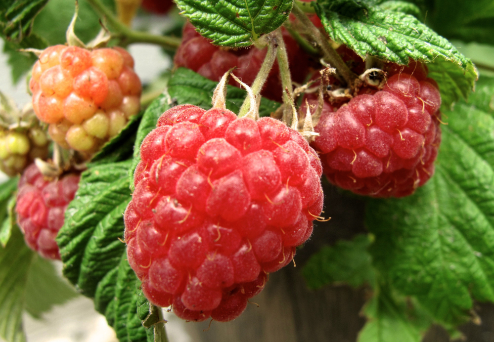 Raspberries are an easy-to-grow choice for containers. They can be placed near high traffic areas, making for convenient snacks.