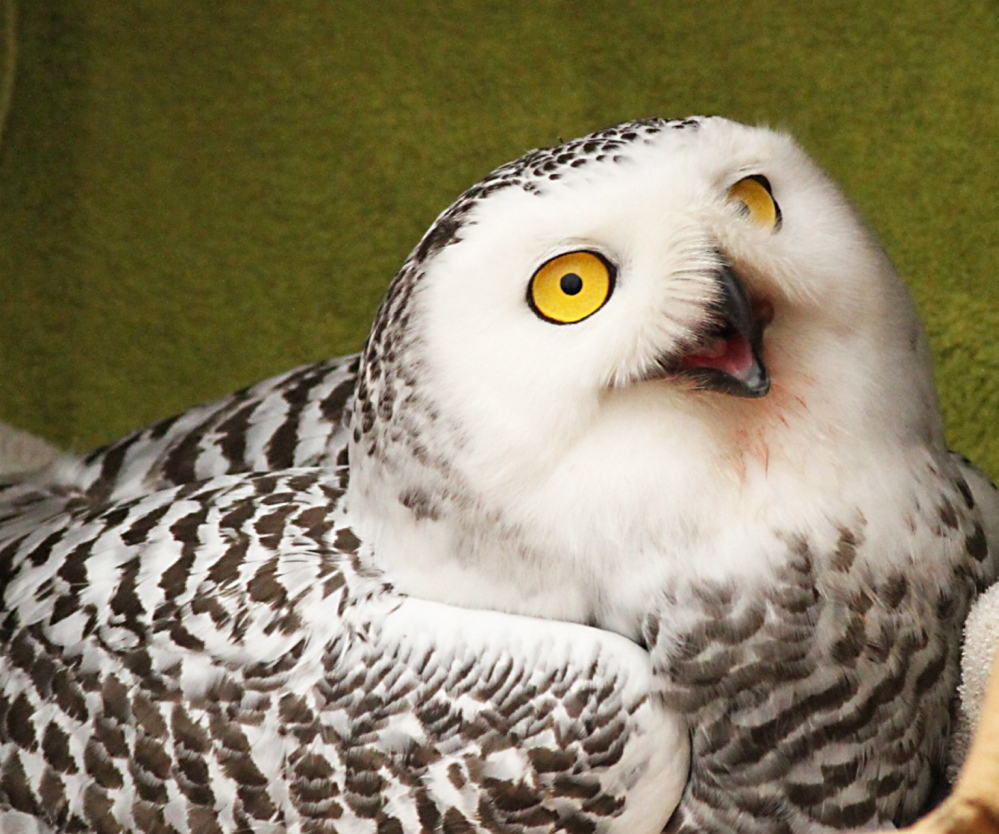 The snowy owl rescued from a vacant Portland building was released Saturday.