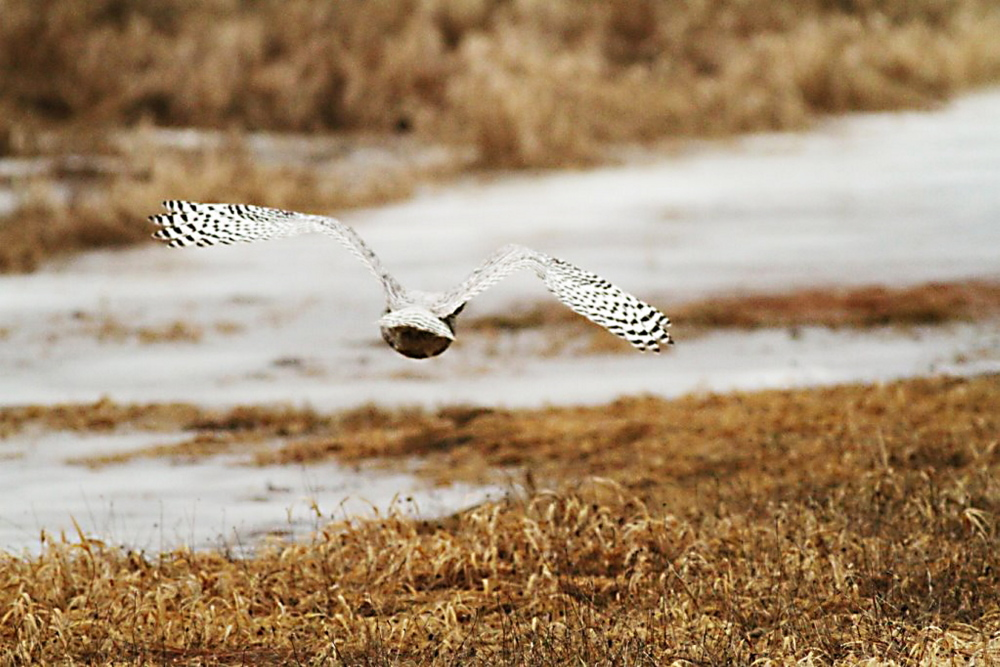The rescued snowy owl flies off into a midcoast marsh Saturday.