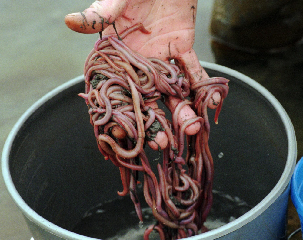 how to raise blood worms for fishing