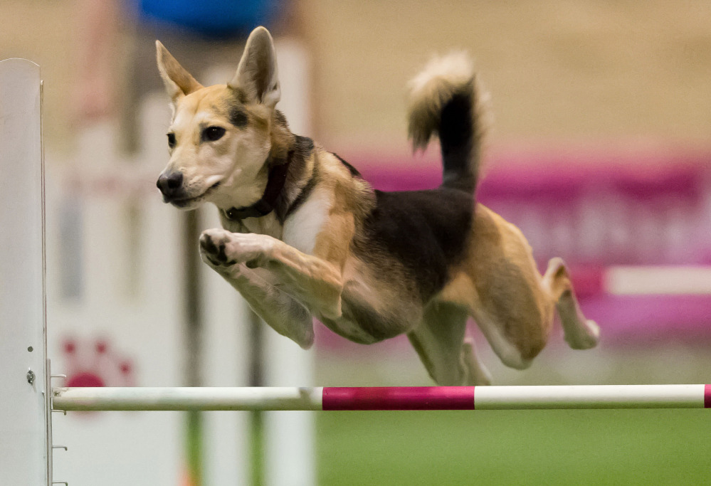 Roo! clears a hurdle during an agility competition in 2012 in Orlando, Fla. The husky mix will join about 225 agility dogs whizzing through tunnels, around poles and over jumps as she competes in the Westminster Kennel Club's new agility competition in February.