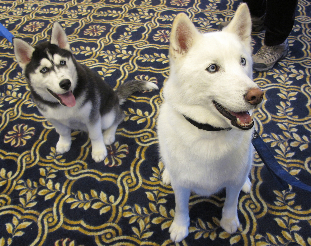 The University of Connecticut's new mascot, Jonathan XIV, left, sits beside his predecessor, Jonathan XIII, after being introduced to the board of trustees Wednesday.