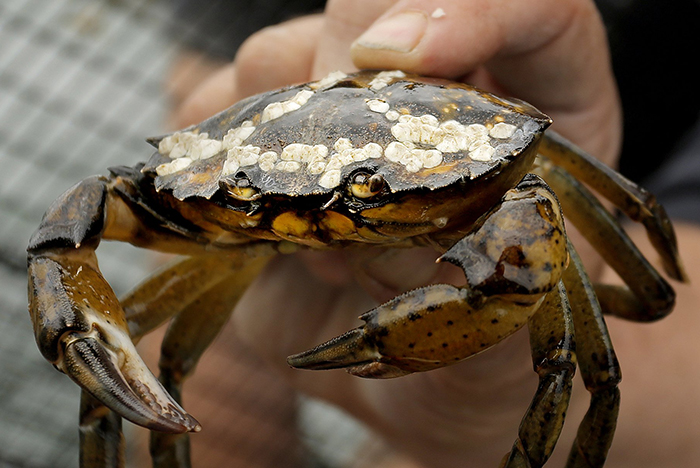 The green crab population has exploded along the Maine coast. This one was found in Freeport waters last May.