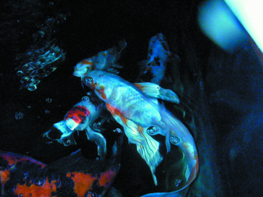 KOI: Ulysses swims atop Spottie in the indoor aquarium that holds koi at the Harpswell home of Georgette Curran.