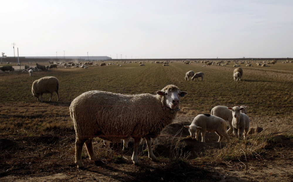 Indart keeps some of his sheep on rented irrigated fields but says he can't afford to do that much longer. He has sent 10 percent of his 4,000 ewes to the slaughterhouse because it costs him too much to buy hay to feed them.