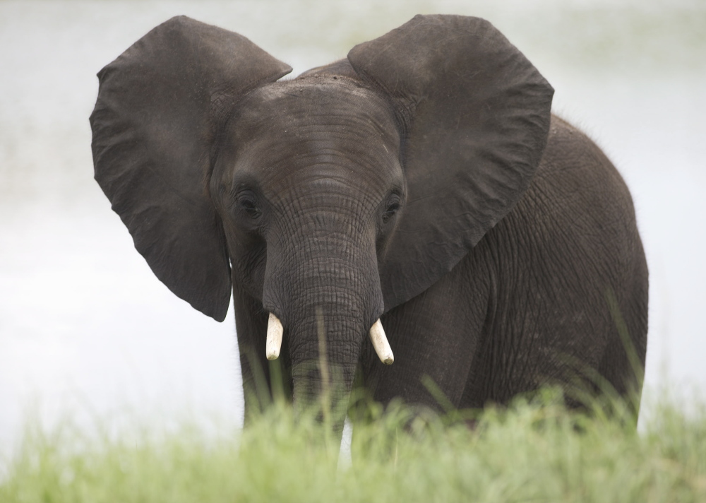 Africa's elephant population has dwindled to 500,000 or fewer, as thousands are slaughtered each year by poachers motivated by the demand for ivory. The U.S. is taking measures to try to reduce the demand.