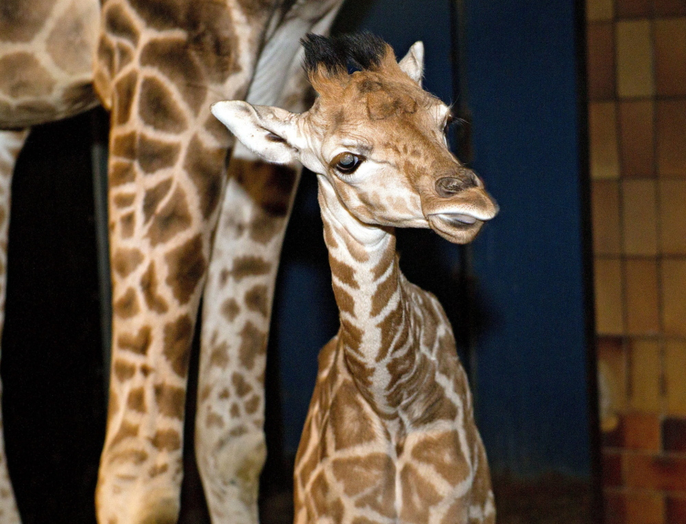 A 7-year-old giraffe named Marius is seen at the Danish Jyllands Park Zoo in this photo taken Jan. 18. The zoo said Wednesday it might put down this giraffe.