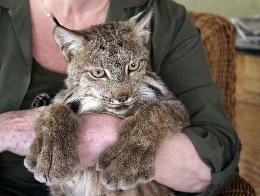 Gina Brockett with a lynx at Brocketts Film Fauna in Thousand Oaks, Calif. Professional wranglers who provide animals for entertainment productions such as television and film, like the Brocketts, face tougher regulations on the treatment of animals on the set.