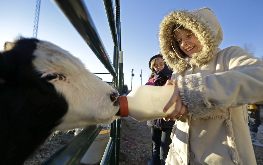 Second-grader Hannah Greene bottle-feeds a calf during morning chores at the Walton 21st Century Rural Life Center in Walton, Kan., in December. Located in a small farming community, the school faced closing before re-establishing itself as an agriculture-focused charter school and more than doubling enrollment.