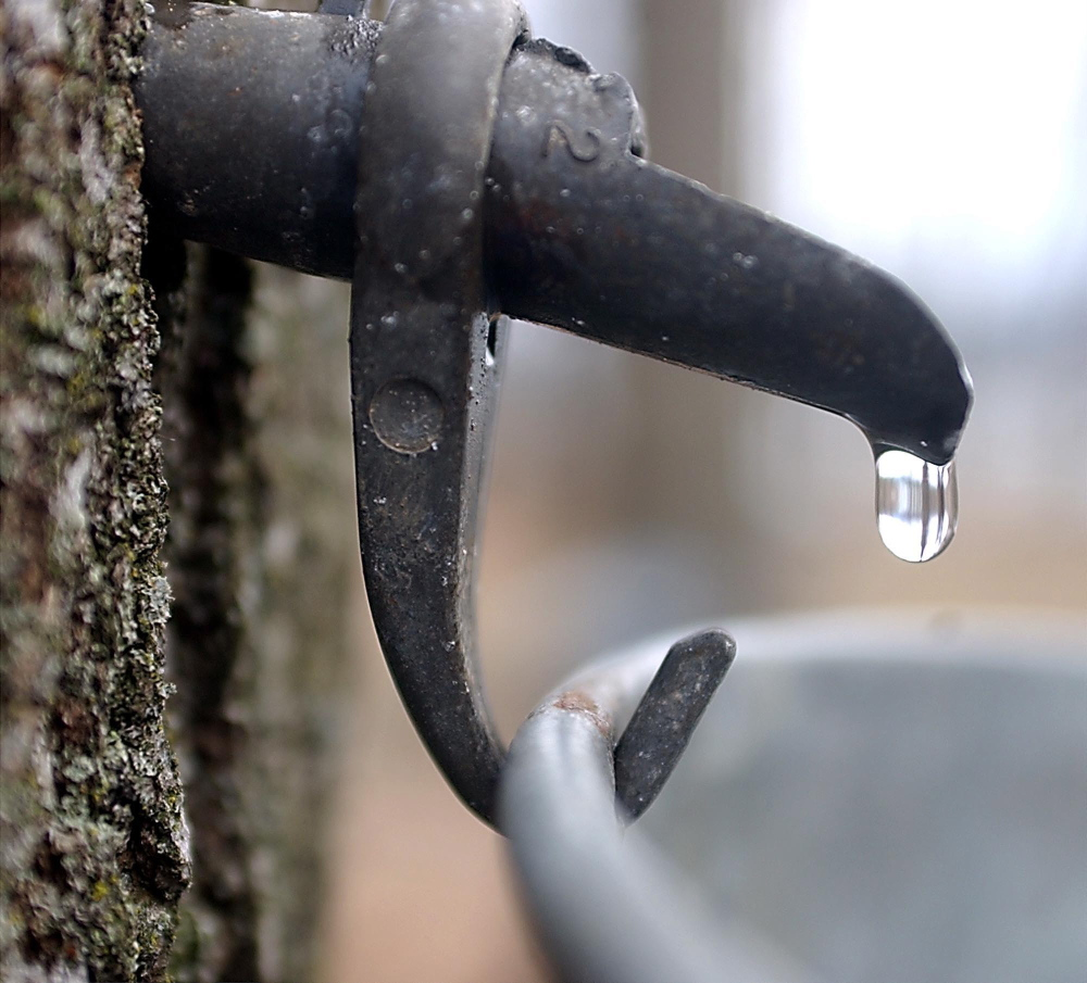 A drop of sap comes out a tap in a maple tree. A Maine researcher is trying to understand the relationship between weather and the flow of maple sap.