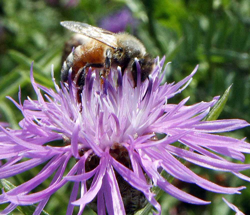 A bumblebee alights on the bloom of a thistle. Commercial honeybee populations are infecting the world's wild bumblebees, a new study finds.