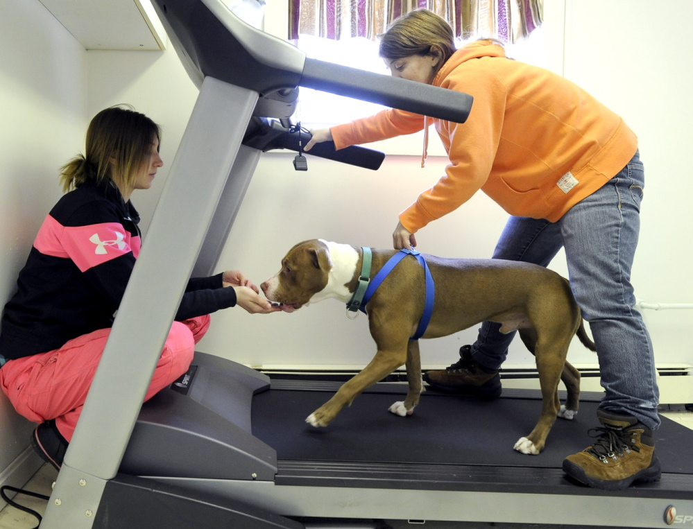 Dawn Reynolds and Bonnie Waterman exercise Chewy on a treadmill at the facility Wednesday. The shelter, with a staff of 40 and more than 200 volunteers, cares for more than 4,000 animals each year.