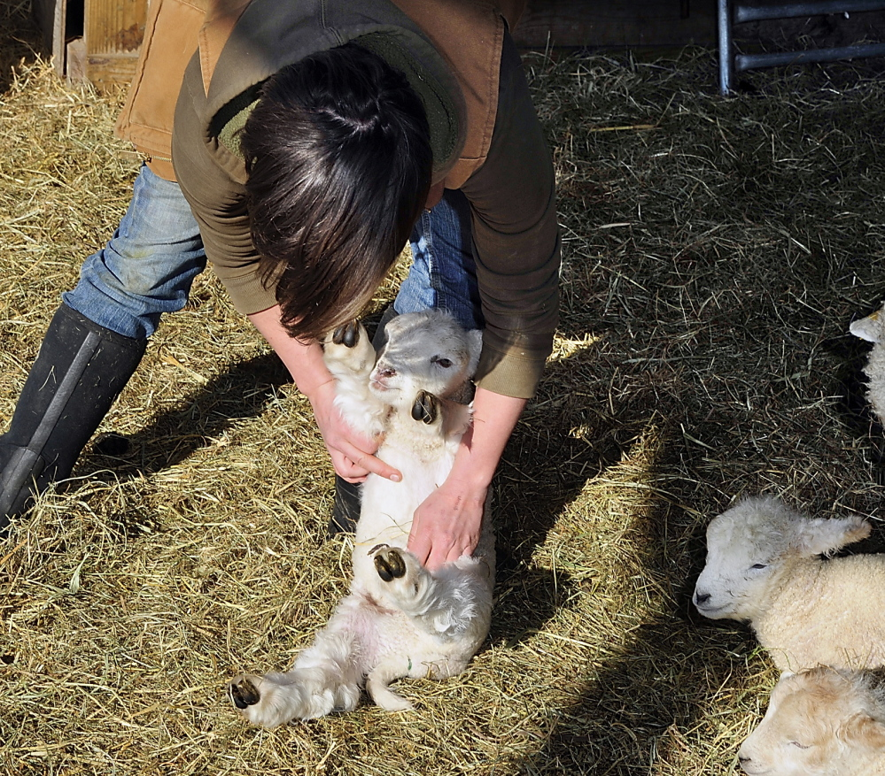 Kaitlyn Gardner, a working manager at Wolfe's Neck Farm in Freeport, checks the health of one of her lambs born recently during the lambing season. Monday , February 24, 2014. Gordon Chibroski, Staff Photographer