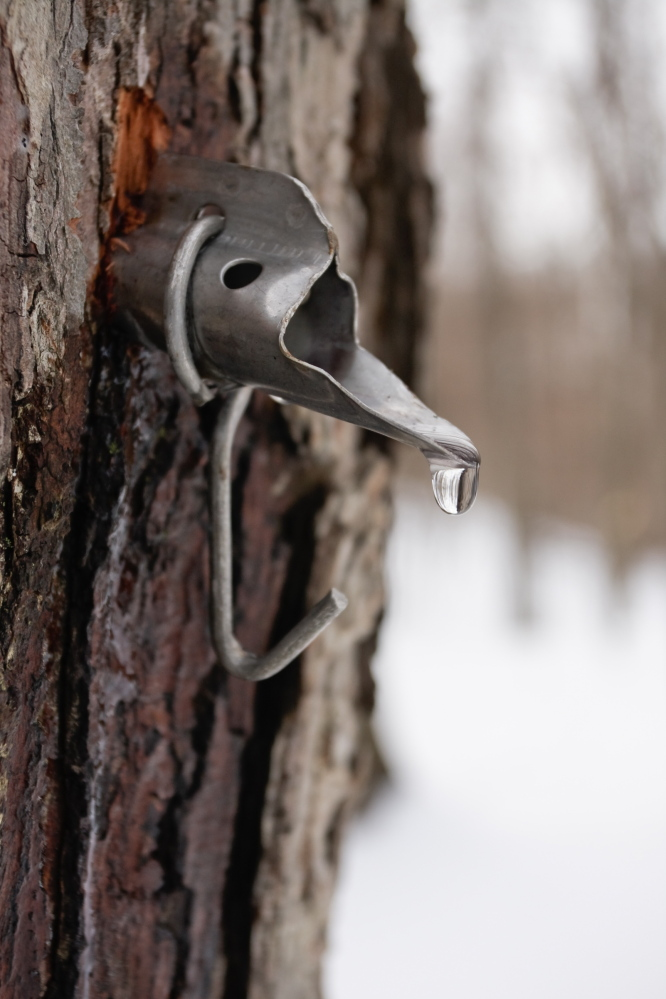 Sweetness on tap: Soon comes the drip, drip, drip of the sap, music to the ears of the state's maple syrup producers ... and consumers.