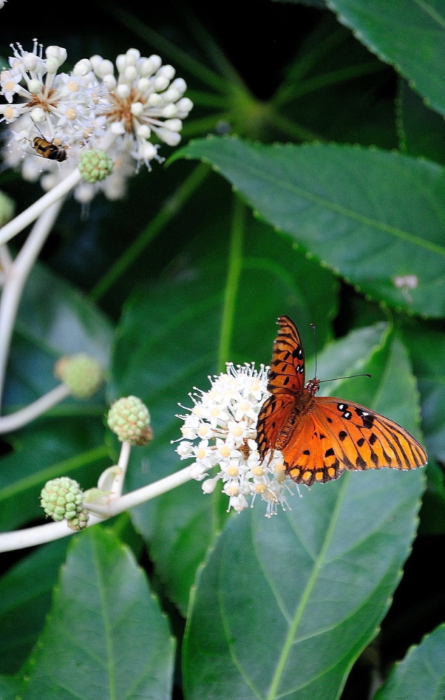 The gulf fritillary butterfly is one of several species you may find feeding on the fall blossoms of the fatsia.