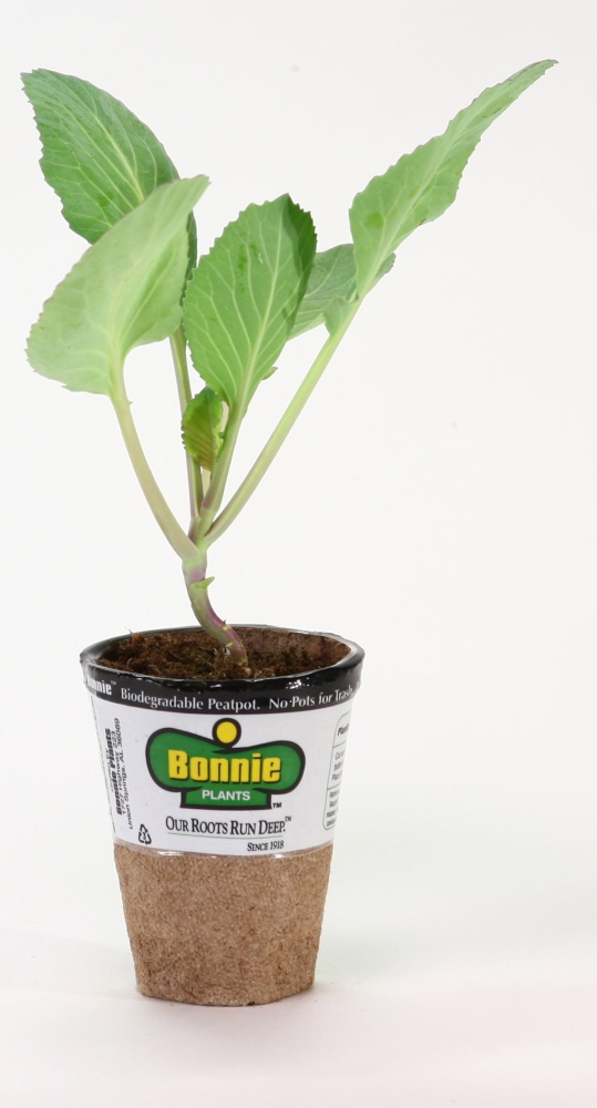 """Teachers can order starter kits from Bonnie Plants for the """"Kids Grow Green: Cashing in Cabbage"""" program."""