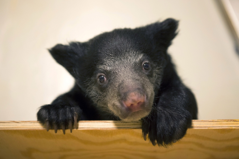 Zookeepers are hand-raising this female sloth bear cub, shown Tuesday at the Smithsonian National Zoo in Washington.