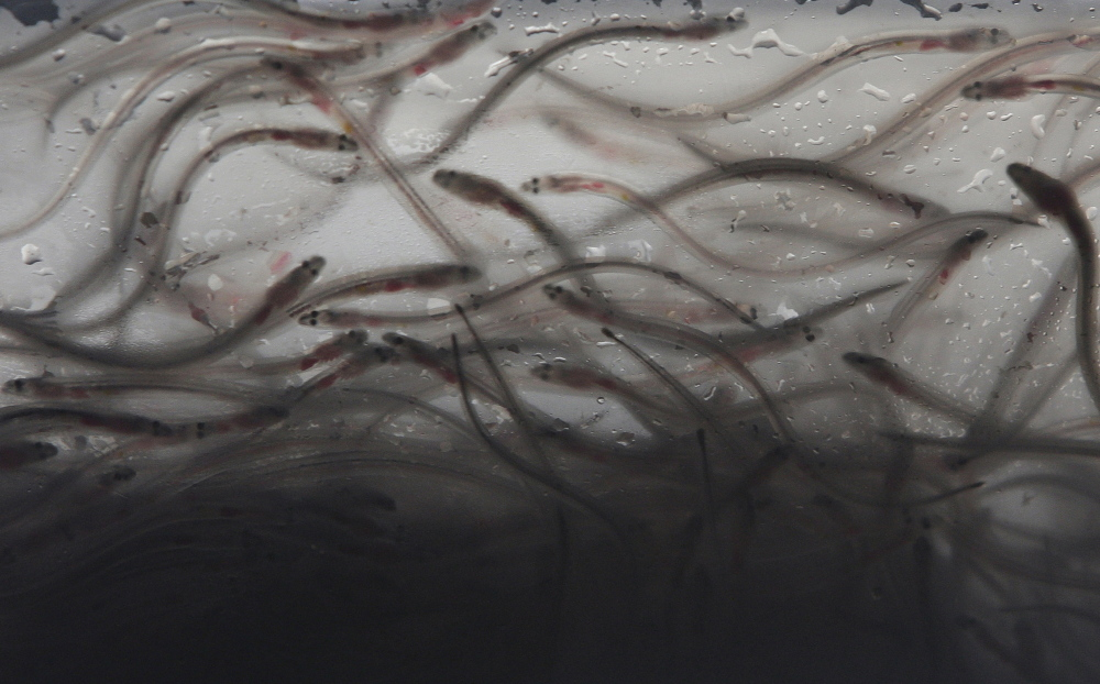 Elvers swim in a plastic bag in an illegal shipment confiscated by authorities at Manila's International Airport in the Philippines in 2012. Baby eels have become a valuable fishery. The Associated Press