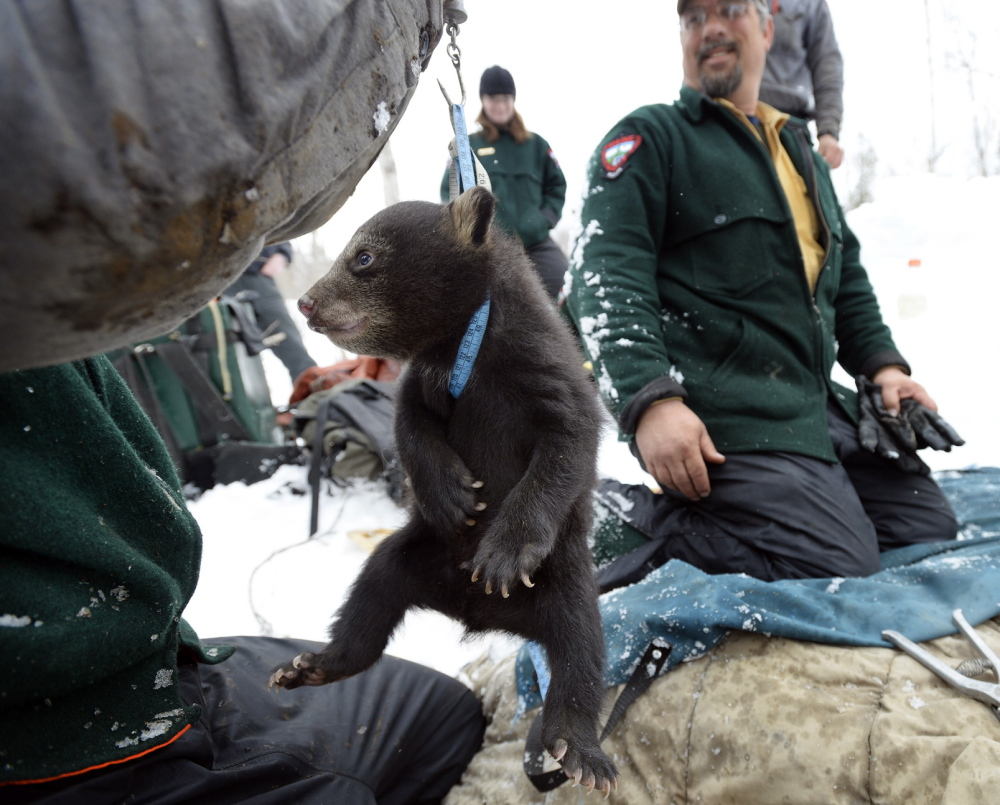 A bear cub is weighed by technicians with the Department of Inland Fisheries and Wildlife.