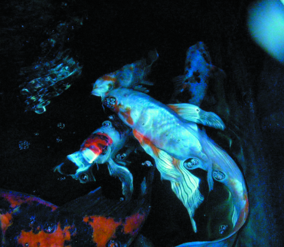 Some of Georgette Curran's koi swim in her aquarium prior to their removal by state officials Monday. Curran had 42 live koi and five frozen ones.