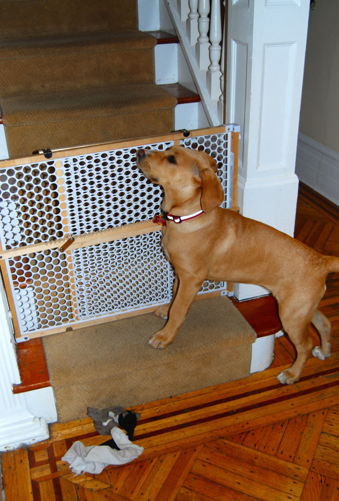 A puppy waits for children to come downstairs from their bedrooms in the morning. The gate prevents the pup from going to the second floor, where she is not yet allowed.