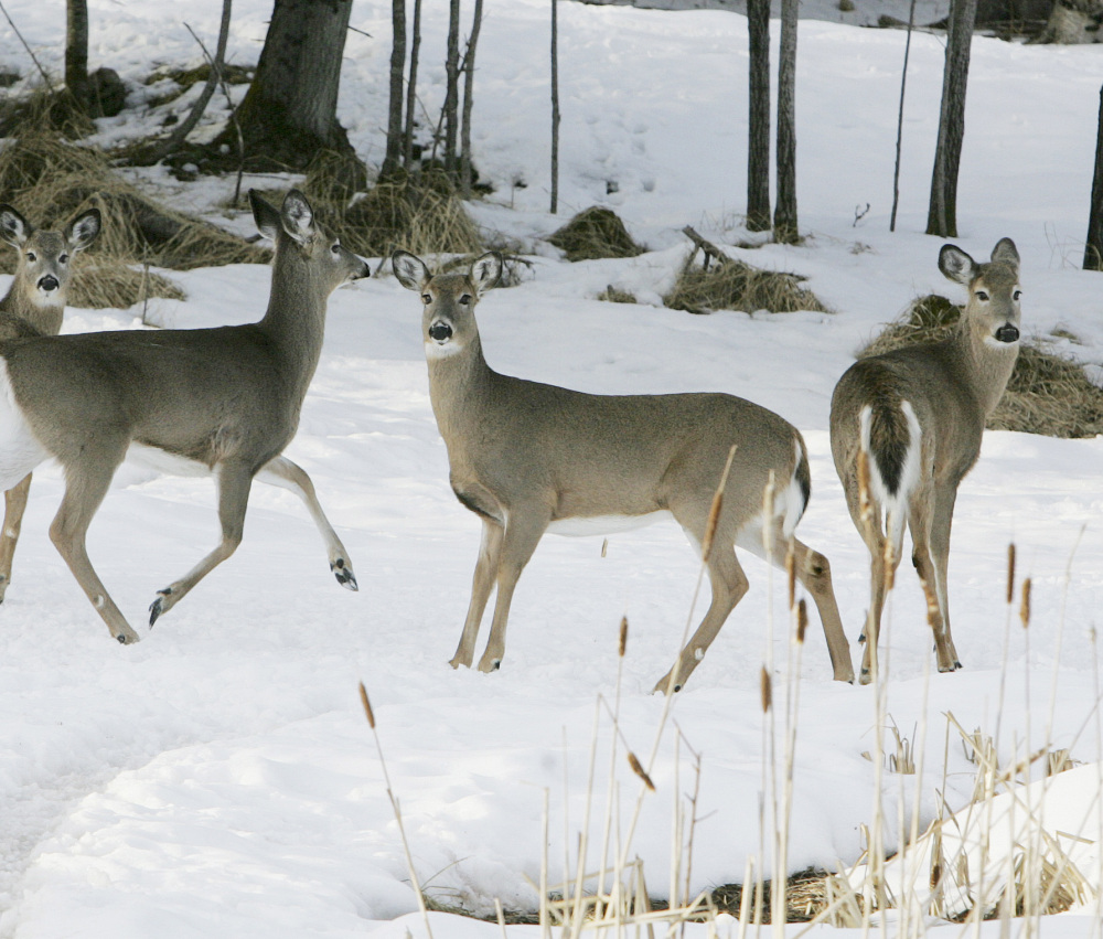 A small herd of deer looks for food. The harsh winter of 2013-2014 has taken a toll on the deer herd, with mortality rates as high as 19 percent in northern Maine.