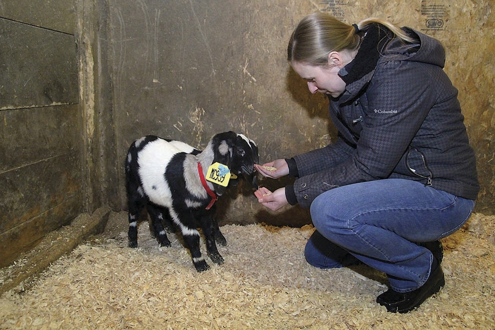 Allison Lattanzi feeds two newly acquired goats. The couple is committed to expanding agriculture in Massachusetts.