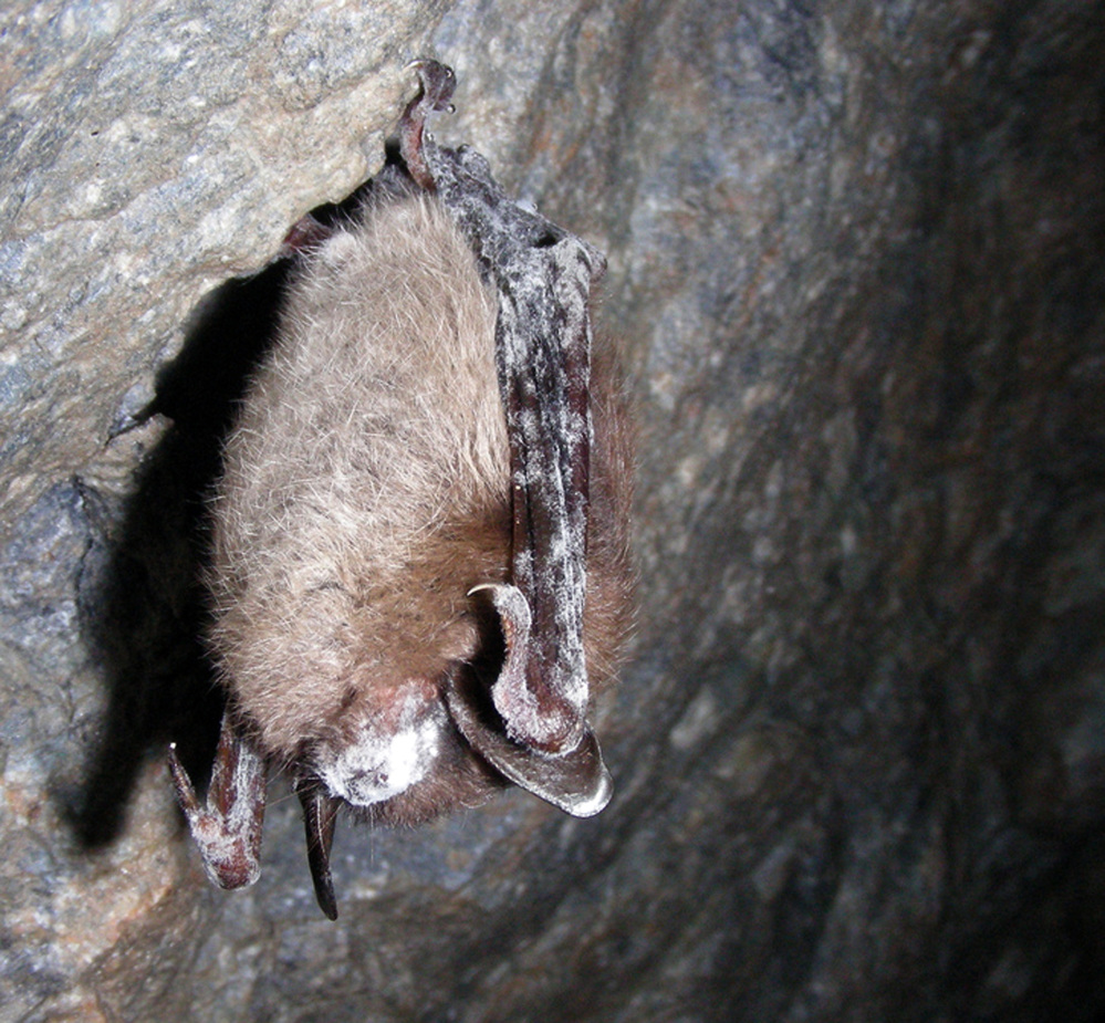 The Associated Press / 2008 file photo This photo provided by the U.S. Fish and Wildlife Service shows a little brown bat with white-nose syndrome in a Vermont cave. A biologist with Vermont's Department of Fish and Wildlife said last month that he believes the worst of the epidemic in his state has passed, and that at least one affected species is starting to recover.