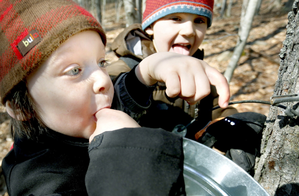 The sap's sampled and meets the taste test of 4-year-old Iver Myles, left, and 5-year-old Bruno Pincero during a walk though the Cape Neddick woods.