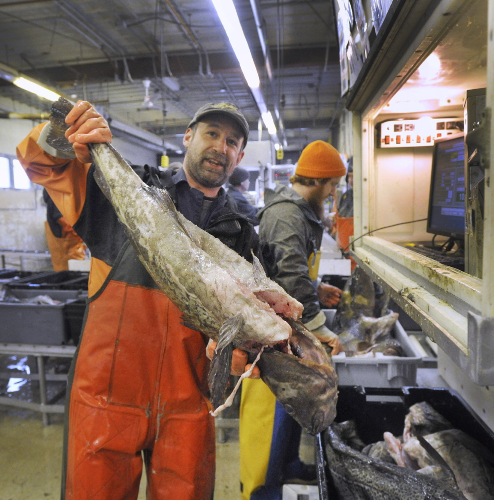 "Fish sorter Nate Dunford at work at the Portland Fish Exchange on Commercial Street last month. Dunford sorts fish by species and size as fishing boats unload at the Exchange. Holding this large cod, Dunford said, ""You don't see many like this anymore."""