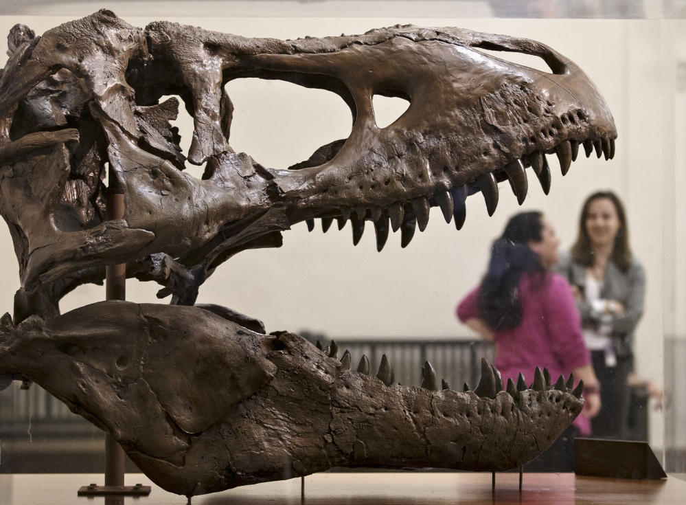 A cast of a T. rex fossil discovered in Montana greets visitors at the Smithsonian Museum of Natural History. The real bones arrived at the museum Tuesday.