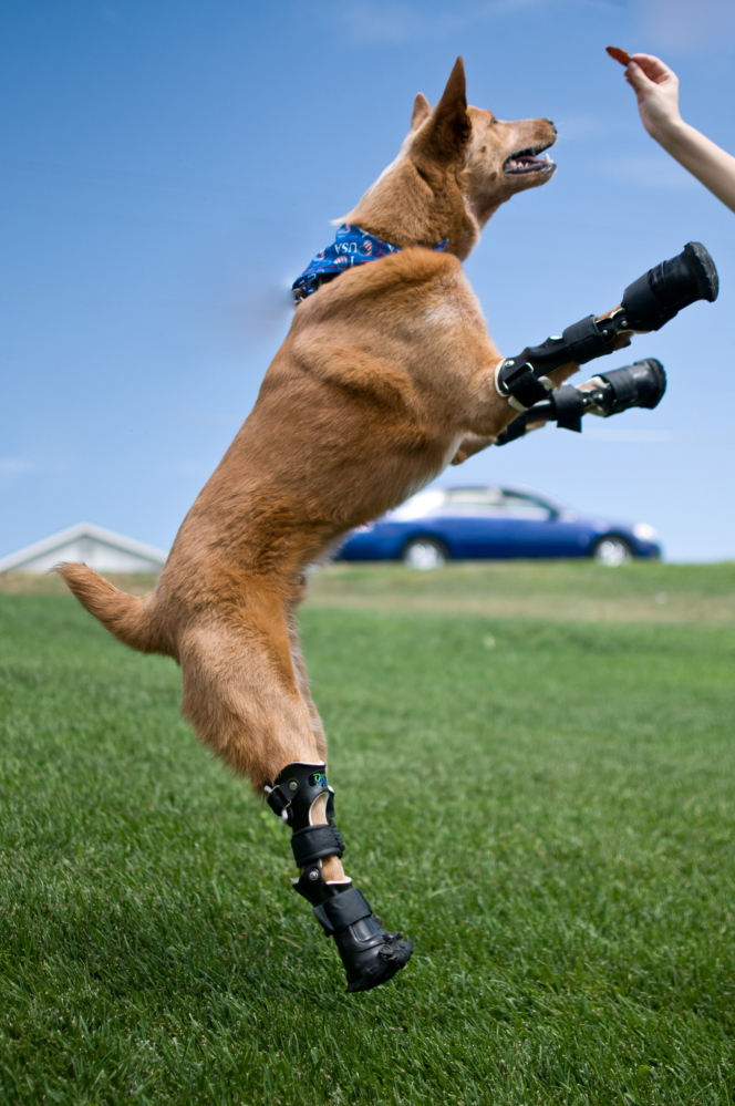 Naki'o, a red heeler mix breed, playing on her four prosthetic limbs.