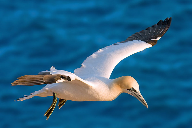 The northern gannet lives primarily at sea, where it can dive at speeds of 60 mph to catch fish.