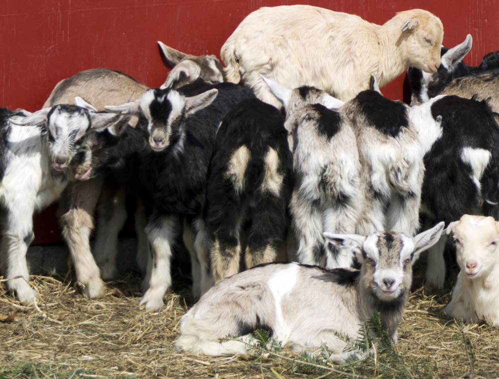 The Vermont Goat Collaborative in Colchester, Vt., brings together refugees and immigrants seeking goat meat with dairy farmers who otherwise would have no market for young male goats.